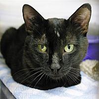 Domestic Shorthair Cat for adoption in Kamloops, British Columbia - Guardian
