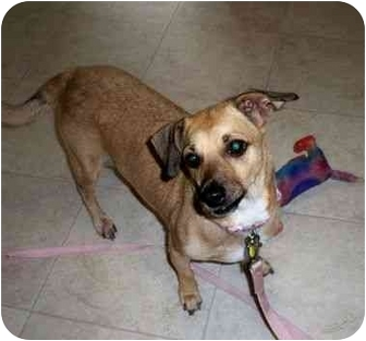Chihuahua/Dachshund Mix Dog for adoption in Kokomo, Indiana - Angel~ChiWeiney