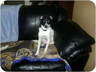 Rat Terrier/Rat Terrier Mix Dog for adoption in Sheboygan, Wisconsin - Isaac