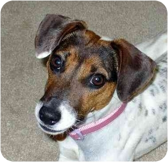 Jack Russell Terrier Dog for adoption in Thomasville, North Carolina - Macy