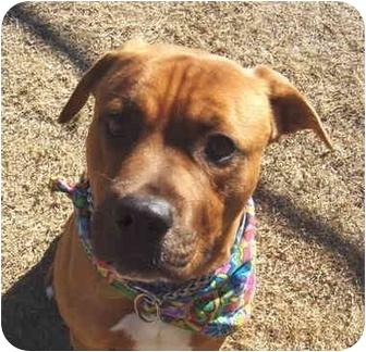 Boxer/Labrador Retriever Mix Dog for adoption in Auburn, California - Christian