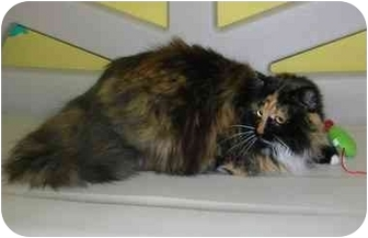Domestic Longhair Cat for adoption in HARRISONVILLE, Missouri - Loren