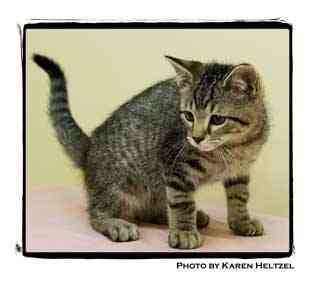 Domestic Shorthair Kitten for adoption in Warren, Pennsylvania - Andy