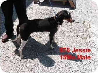 Hound (Unknown Type)/Labrador Retriever Mix Dog for adoption in Rochester, New Hampshire - Jesse