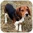 Photo 2 - Beagle Puppy for adoption in Kokomo, Indiana - Baby Browser!