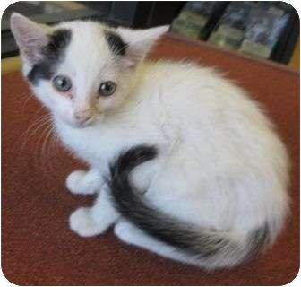 American Shorthair Kitten for adoption in Riverside, California - Mick