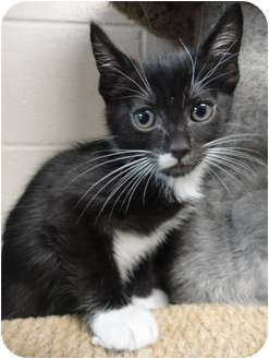 Domestic Shorthair Kitten for adoption in Spruce Pine, North Carolina - Sam I Am