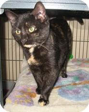 Domestic Shorthair Kitten for adoption in Shelton, Washington - Tortilena