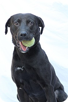 Retriever (Unknown Type) Mix Dog for adoption in Greensboro, North Carolina - George - TRAINED - see video