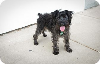 Terrier (Unknown Type, Small) Mix Puppy for adoption in Mt. Prospect, Illinois - Brittany