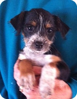 Poodle (Miniature)/Terrier (Unknown Type, Small) Mix Puppy for adoption in Nuevo, California - Mopsy