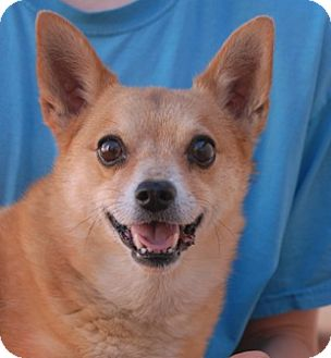 Chihuahua Mix Dog for adoption in Las Vegas, Nevada - Mike