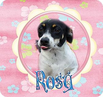 Rat Terrier Dog for adoption in Jefferson, Texas - Rosy