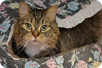 Domestic Mediumhair Cat for adoption in Michigan City, Indiana - Maggie