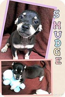 Chihuahua Mix Puppy for adoption in Apache Junction, Arizona - Smudge