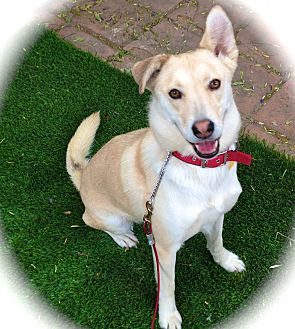 Husky/Labrador Retriever Mix Dog for adoption in Los Angeles, California - Amazing Maya-VIDEO
