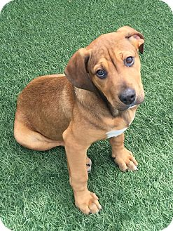 Bloodhound/Boxer Mix Puppy for adoption in Menifee, California - Molly