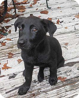 Labrador Retriever Mix Puppy for adoption in Houston, Texas - Stella