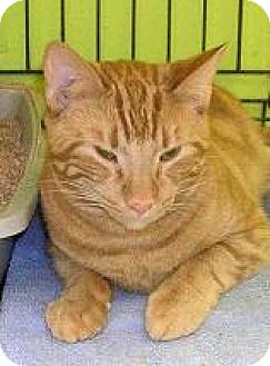 Domestic Shorthair Cat for adoption in Island Heights, New Jersey - Oliver