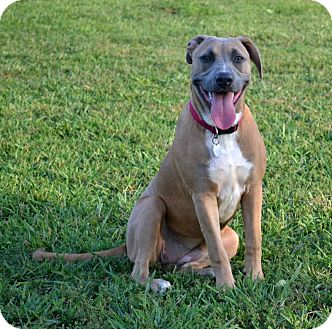 Labrador Retriever/Black Mouth Cur Mix Dog for adoption in Knoxville, Tennessee - Jillian