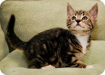 Domestic Shorthair Kitten for adoption in Tallahassee, Florida - Princess