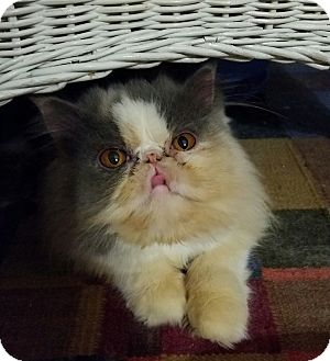 Persian Cat for adoption in Columbus, Ohio - Torie