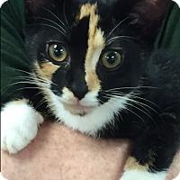 Adopt A Pet :: Little Seven - Cranford/Rartian, NJ