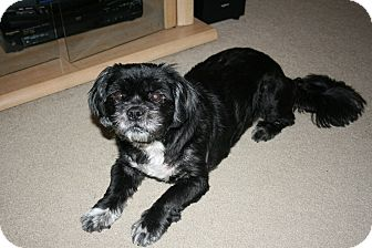 Shih Tzu Mix Dog for adoption in Monroe, North Carolina - Special