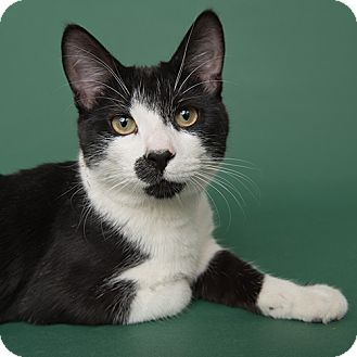 Domestic Shorthair Cat for adoption in Wilmington, Delaware - Dillard