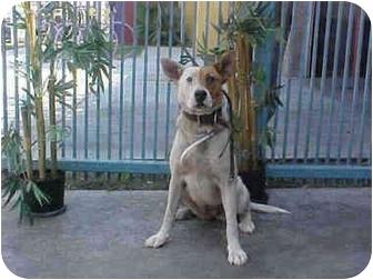 Basenji/Cattle Dog Mix Dog for adoption in Santa Barbara, California - Princess