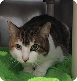 Domestic Shorthair Cat for adoption in Lafayette, New Jersey - Suezie