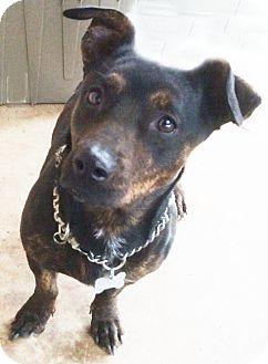 Dachshund/Basset Hound Mix Dog for adoption in Poway, California - Jasmine