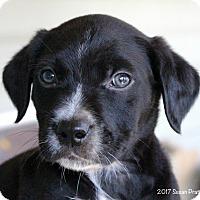 Adopt A Pet :: Dewey - Bedford, VA