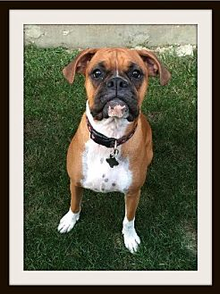Boxer Puppy for adoption in Hurst, Texas - Bell