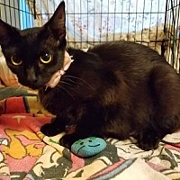 Domestic Shorthair/Domestic Shorthair Mix Cat for adoption in New Orleans, Louisiana - Mona