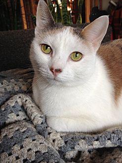 Calico Cat for adoption in Hudson, New York - Acorn