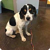 Adopt A Pet :: A030159 - Norman, OK