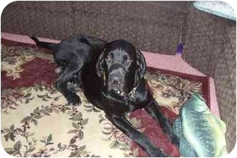 English Mastiff Puppy for adoption in LAS VEGAS, Nevada - Keychoue