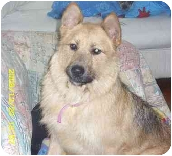 Airedale Terrier/German Shepherd Dog Mix Dog for adoption in Elwood, Illinois - Molly