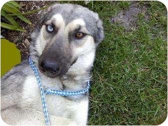 Siberian Husky/Australian Shepherd Mix Dog for adoption in Apple valley, California - Carley