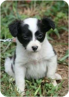 Rat Terrier Puppy for adoption in Windham, New Hampshire - Clare