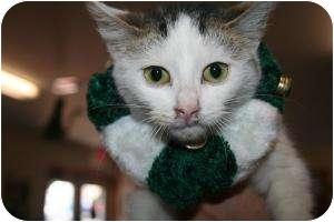 Domestic Shorthair Kitten for adoption in Shelbyville, Kentucky - Toby