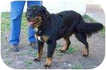 Bernese Mountain Dog Mix Dog for adoption in Summerville, South Carolina - Biscuit(in foster)