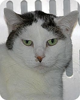 Domestic Shorthair Cat for adoption in Eldora, Iowa - Olivia