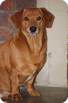 Dachshund Dog for adoption in Hershey, Pennsylvania - Little Bit