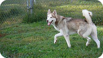Siberian Husky Mix Dog for adoption in Augusta County, Virginia - Denali