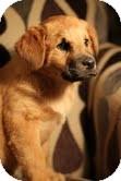 Rottweiler/Labrador Retriever Mix Puppy for adoption in justin, Texas - Emma