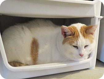 Domestic Shorthair Cat for adoption in Geneseo, Illinois - Mindy