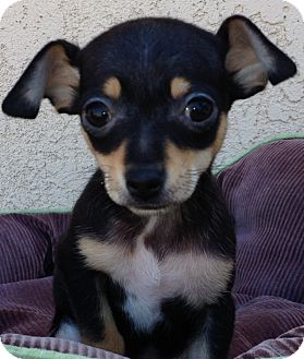 Beagle/Chihuahua Mix Puppy for adoption in Poway, California - GINGER