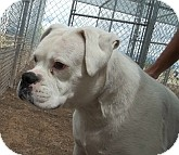 Boxer Mix Dog for adoption in Silver City, New Mexico - Cosmo